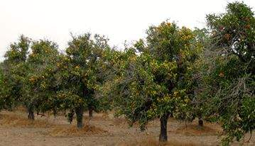 Sexlinger Orchard