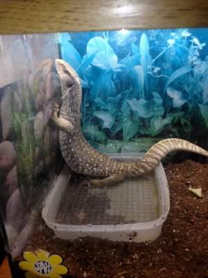 Lost Santa Ana lizard