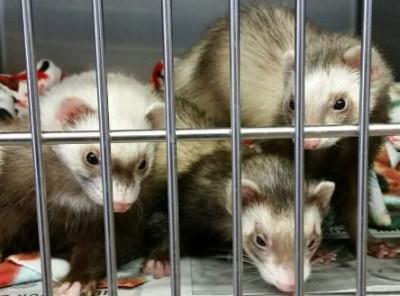 Illegal ferrets in Santa Ana